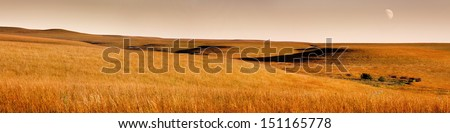 This serene panoramic landscape at sunrise of the Kansas Tallgrass Prairie Preserve with rolling hills, waves of blowing grass, rich golden colors and faded moon makes for a marvelous pastoral scene. - stock photo