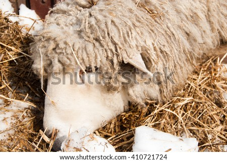 This sheep is eating its prey, in the winter/sheep - stock photo