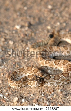 This small juvenile prairie rattlesnake was photographed in western Kansas. - stock photo