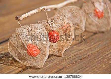 This unusual form of a Chinese lantern plant, is the skeleton of the plant, showing the seed pod inside after winter.  This still life has an emphasis on the 2nd pod in the row. - stock photo