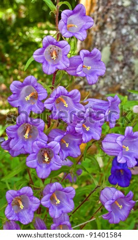 This vertical image is light purple Canterbury Bell flowers (Campanula Medium) growing in a summer garden.  Beautiful bell shaped tall cup-shaped petals.