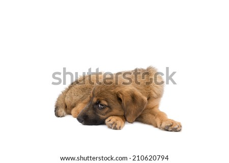 This was a genuine stray puppy who was to weak to stand a few days before this photo was taking, she now has a loving caring home   - stock photo