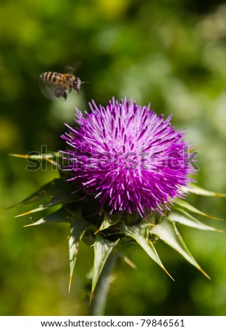 thistle - stock photo