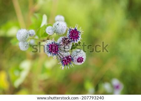 Thistle flower - stock photo