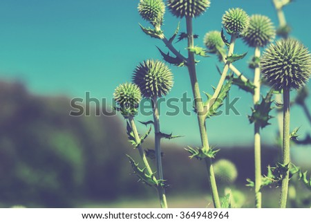 Thistle flower in bloom in summer morning. Cross processed. - stock photo