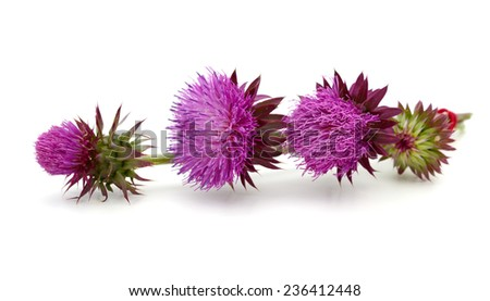 thistle flower isolated on white  - stock photo