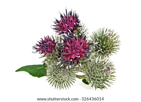 Thistle flower isolated on white background - stock photo