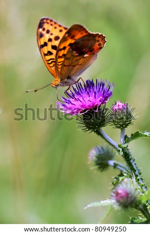 Thistle flower with Pallas's Fritillary (Argynnis laodice) butterfly