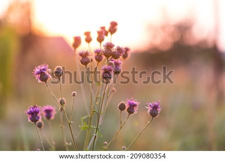 thistle flowers in sunset light - stock photo