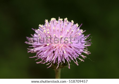 Thistle flowers in the wild