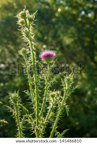 Thistle growing on meadows near the Dniester - stock photo