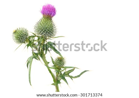 thistle isolated on white background  - stock photo