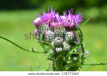 Thistle or Acanthoides button. - stock photo