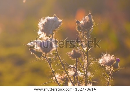 Thistle plant with the spider web - stock photo