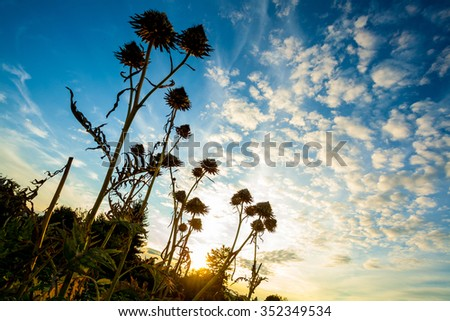 Thistle Silhouettes at sunset - stock photo
