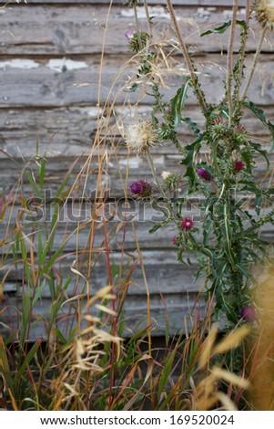 Thistle Weed on Barn Wood - stock photo