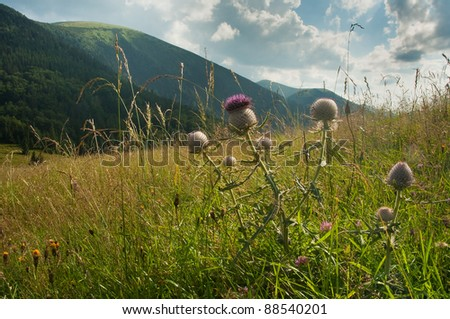 thistles on a meadow, hills in background - stock photo