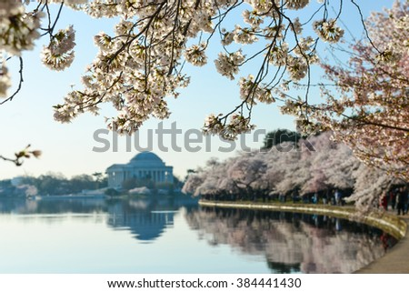 Thomas Jefferson Memorial during cherry blossom festival at sunset, Washington DC United States  - stock photo