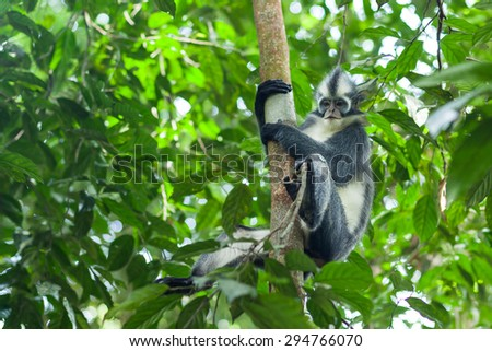 Thomas leaf-monkey in the wild forests of Sumatra - stock photo