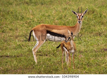Thompson gazelle with baby in green grass - stock photo