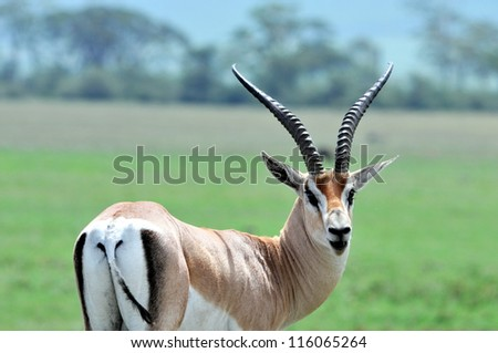 Thompson's Gazelle on the Masai Mara National Reserve, Kenya - stock photo