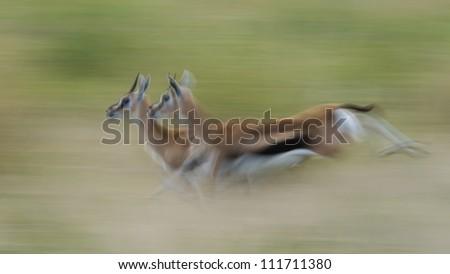 Thompson's gazelles running on the Serengeti - stock photo