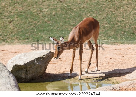 Thomson gazelle and water - stock photo