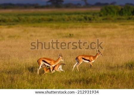 Thomson gazelles family with drinking baby at sunrise in Amboseli National Park, Kenya - stock photo