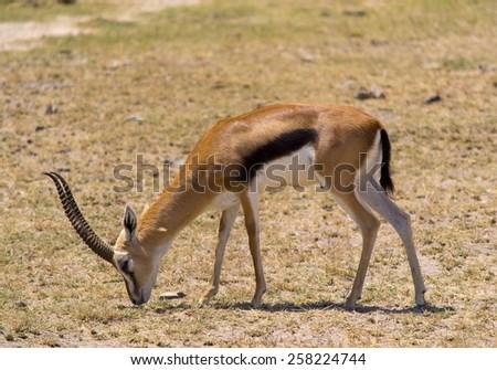 Thomson's gazelle - stock photo