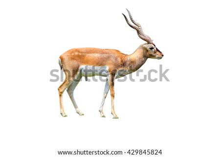 Thomson's gazelle by horn isolated white background - stock photo