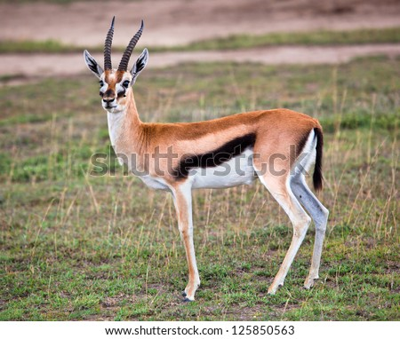 Thomson's gazelle on savanna in Africa. Safari in Serengeti, Tanzania