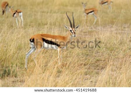 Thomson's gazelle on savanna in National park of Africa - stock photo
