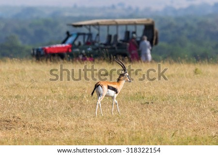 Thomson's gazelle on the savannah with a safari car in the background - stock photo
