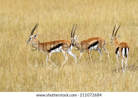 Thomson's Gazelles (Eudorcas thomsonii) on the Masai Mara National Reserve safari in southwestern Kenya. - stock photo