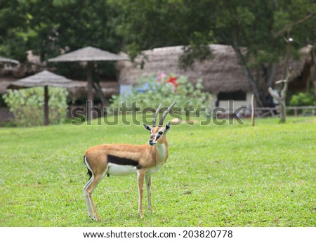 thomsona's gazelle ,thomson gazelle standing on green grass field and looking to camera  - stock photo