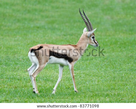 Thomsons Gazelle walking on the green grass filed - stock photo