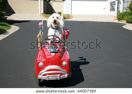 "Thor our new ""Maltipoo"" (maltese-poodle) mix breed dog, smiles as he enjoys  a ride in his firetruck pedal car - stock photo"