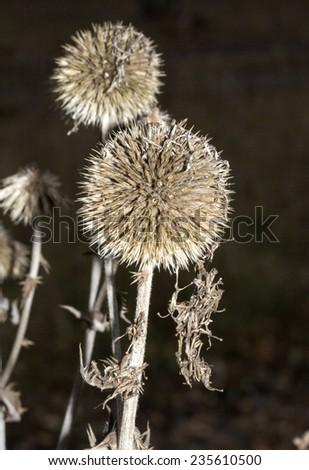 thorn ball on black background - stock photo