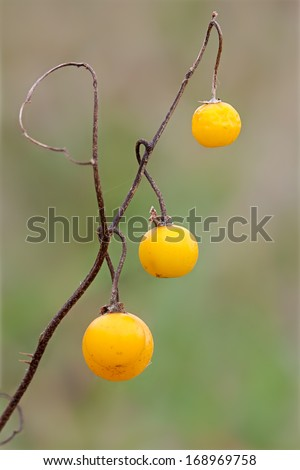 Thorns that once covered a horse nettle's prickly stalks have nearly fallen away. The stem is brown and hardens into wood. All that remain are the yellow berries, but they too are staring to wither. - stock photo