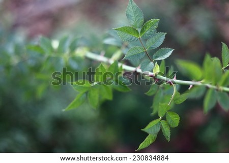 Thorny branch of a dog rose (Rosa canina). - stock photo