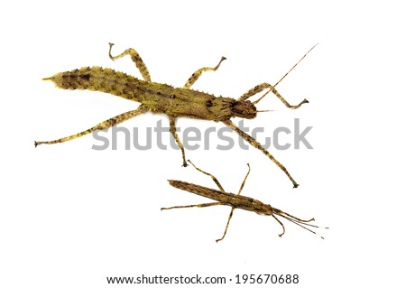 Thorny devil stick insect Eurycantha calcarata isolated on white - stock photo