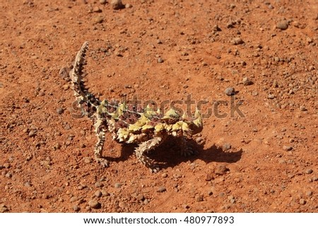 Thorny dragon in the Northern Territory of Australia
