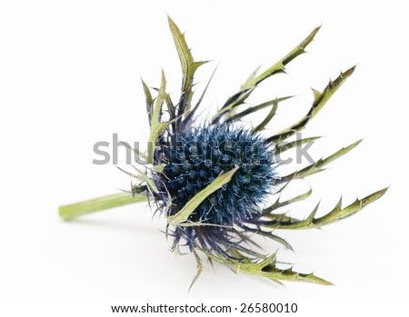 thorny flower isolated
