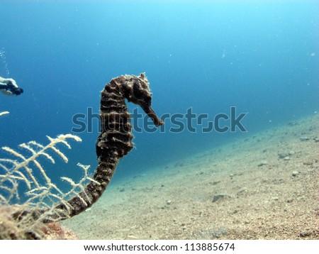 Thorny - Jayakarai seahorse (Hippocampus jaykarai) - stock photo