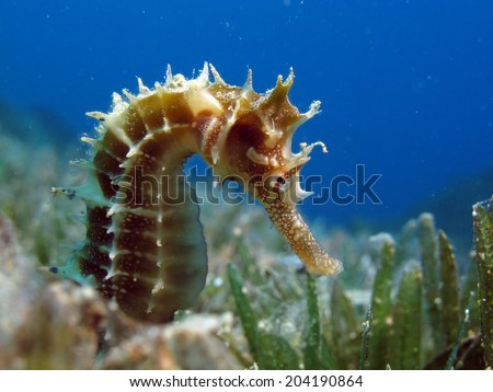 Thorny seahorse between seagrass and blue water - stock photo