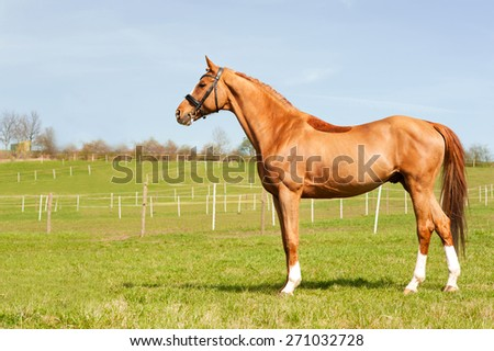 Thoroughbred chestnut standing on pasturage stallion. Multicolored exterior image with side view. Summertime outdoors. - stock photo
