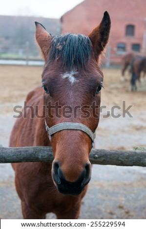 Thoroughbred horse at a walk. Ranch in Chernyakhovsk. Kaliningrad region. - stock photo