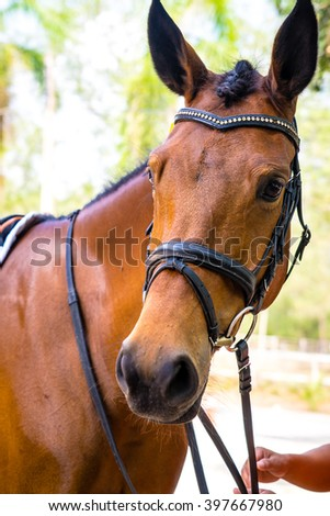 Thoroughbred horse portrait - stock photo