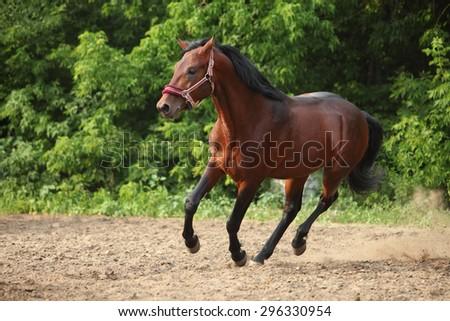 Thoroughbred horse running  - stock photo