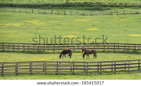 Thoroughbred horses graze in a paddock